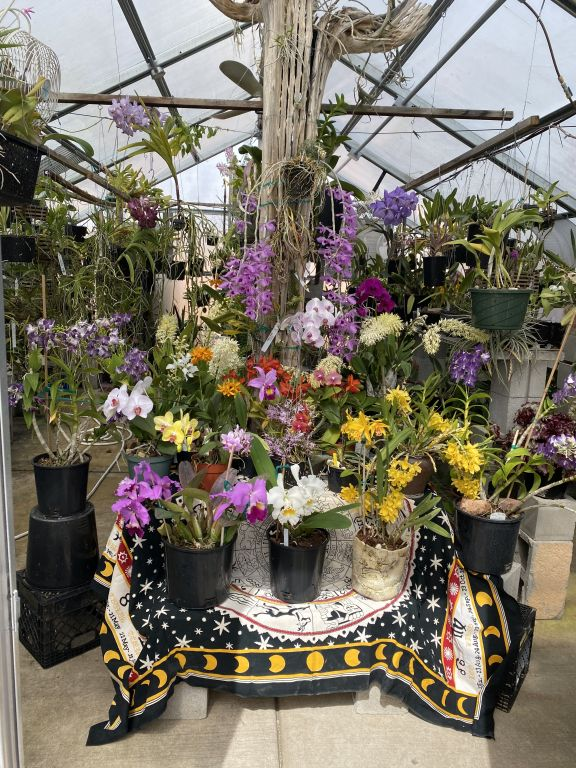 Bob J., TOS, Mar. 7, 2021. Entry 1. Over 25 orchids in bloom in a display set up in a greenhouse.
