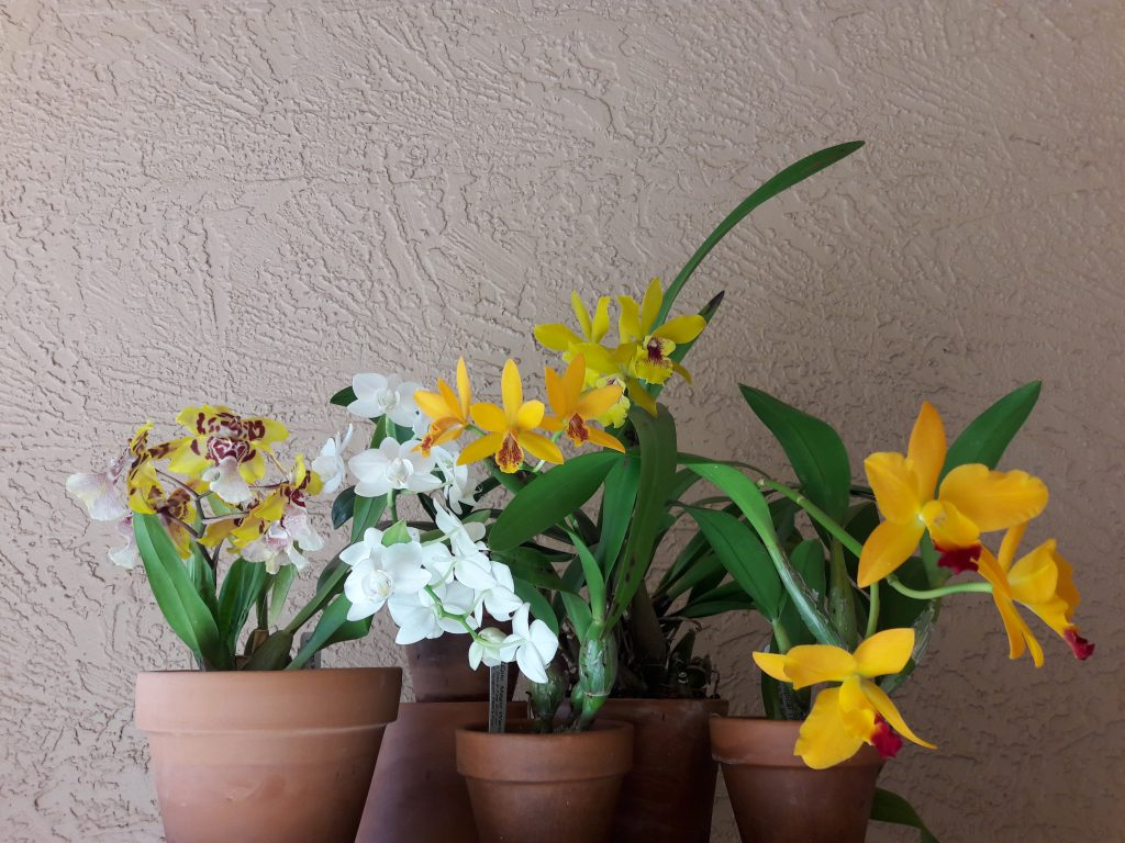 Carol E., DVOS, Mar. 19, 2021. Entry 1. Assorted flowering orchids on a table display.