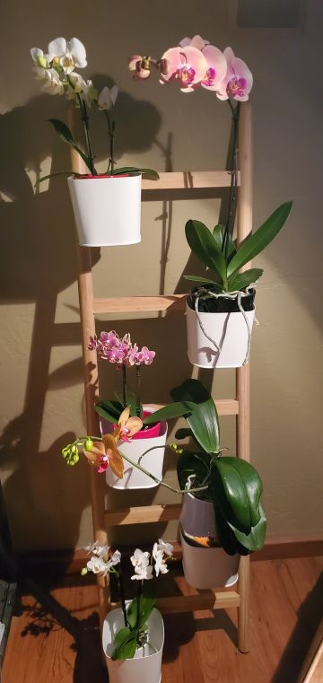Julie D., TOS, Mar. 25, 2021. Entry 1. Phalaenopsis display.
