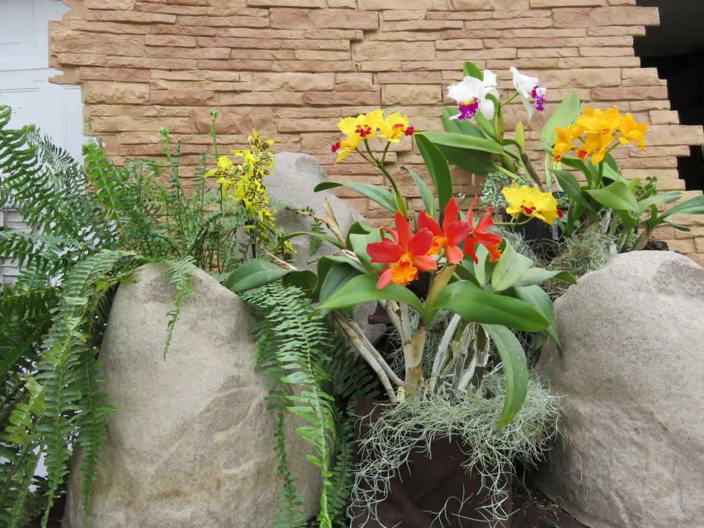 Wes A., TOS, Mar. 7, 2021. Entry 1. Cattleyas and more with ferns and boulders display.