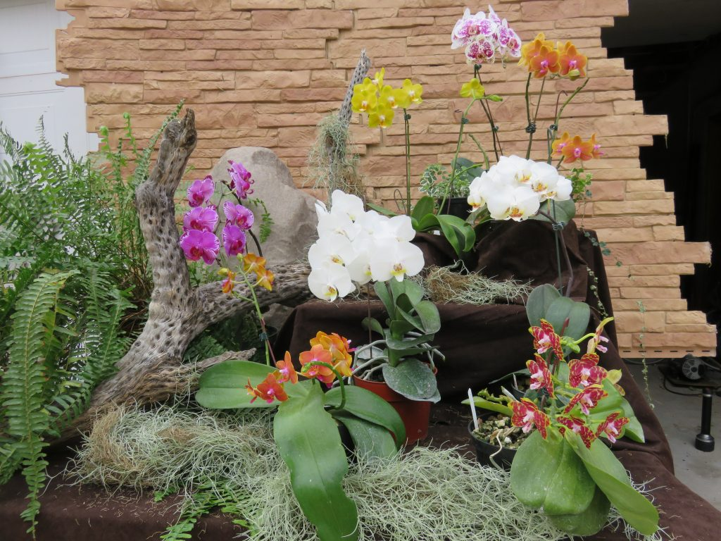 Wes A., TOS, Mar. 7, 2021. Entry 2. Phalaenopsis with ferns and boulders display.
