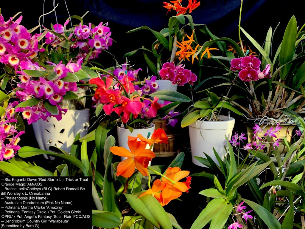 Barb G., TOS, Mar. 16, 2021. Entry 1. Flowering orchids in a table display.