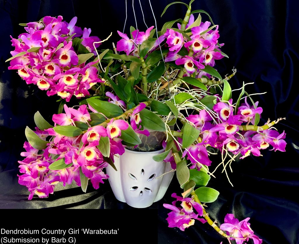 Barb G., TOS, Mar. 16, 2021. Entry 2. Den. Country Girl 'Warabeuta' with more than 70 flowers.