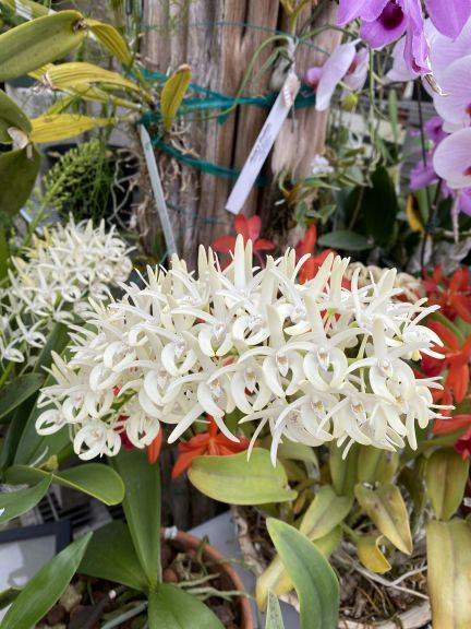 White dendrobium grown by Bob. J. and photographed March 8, 2021.