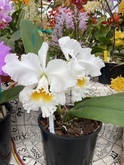 White cattleya grown by Bob. J. and photographed March 8, 2021.