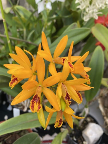 Yellow cattleya hybrid grown by Bob. J. and photographed March 8, 2021.