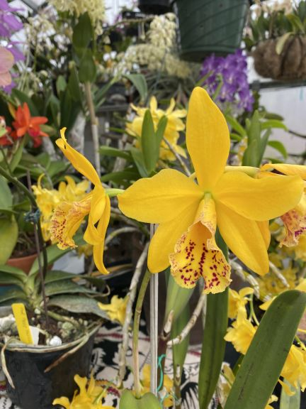 Yellow orchid grown by Bob. J. and photographed March 8, 2021.