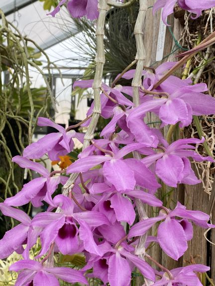 Pink dendrobium grown by Bob. J. and photographed March 8, 2021.