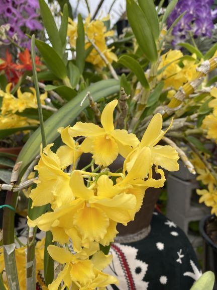 Yellow dendrobium grown by Bob. J. and photographed March 8, 2021.