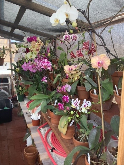 Phalaenopsis bench full of blooming orchids.