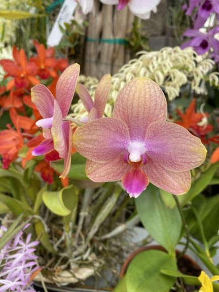 Phalaenopsis grown by Bob. J. and photographed March 8, 2021.