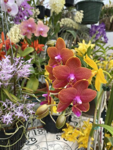Phalaenopsis and other orchids grown by Bob. J. and photographed March 8, 2021.