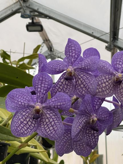 Purple vanda grown by Bob. J. and photographed March 8, 2021.